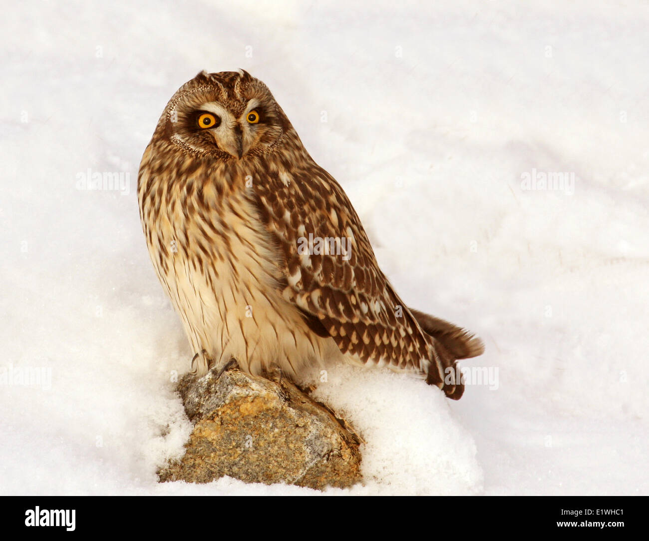 Short-eared Owl, Asio flammeus,  sat in the snow, at Gardiner Dam, Saskatchewan - Stock Image