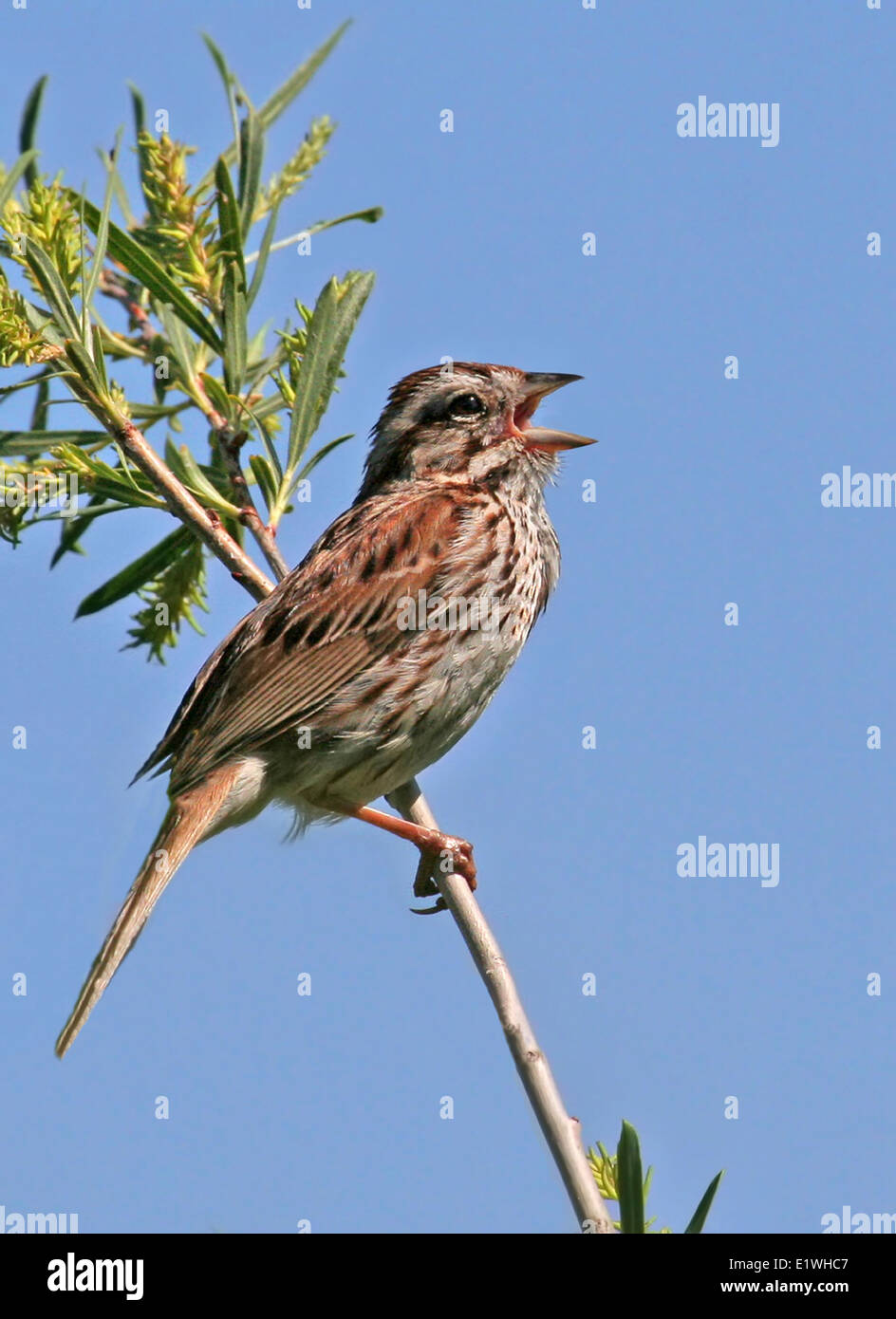 A Song Sparrow, Melospiza melodia, sings from a willow branch, in Saskatoon, Saskatchewan - Stock Image