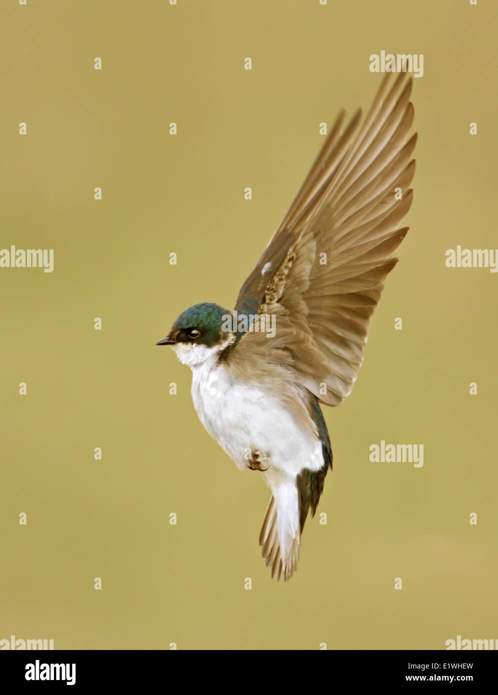 Tree Swallow, Tachycineta bicolor, hovering in Saskatchewan, Canada Stock Photo