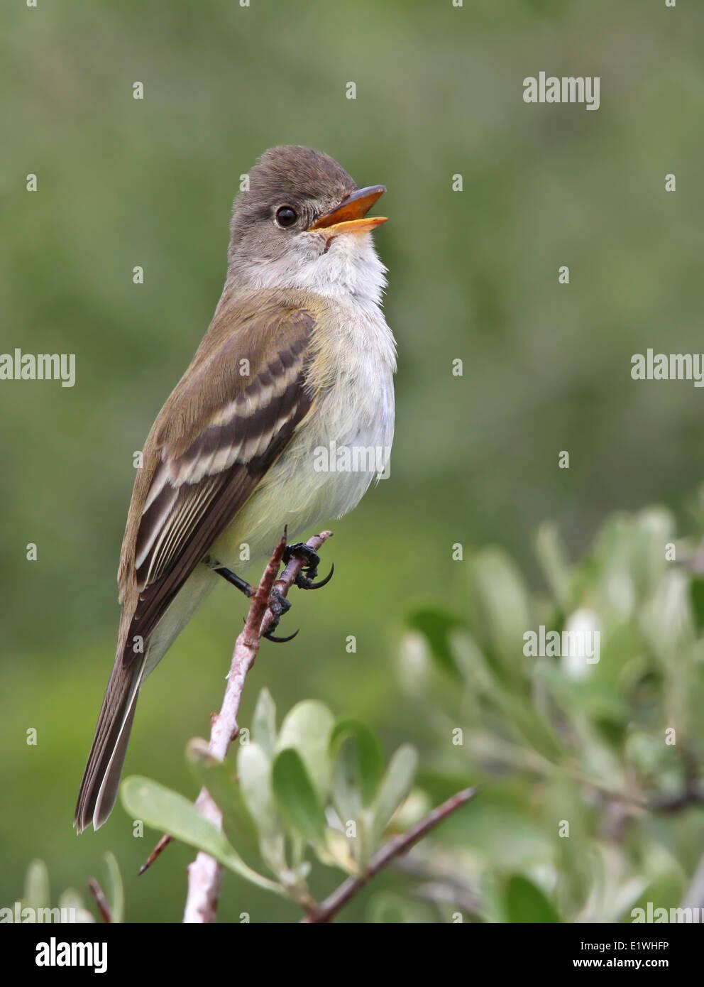 A Willow Flycatcher, Empidonax traillii, sings from wolf willow at Saskatchewan Landing Provincial Park, Saskatchewan - Stock Image