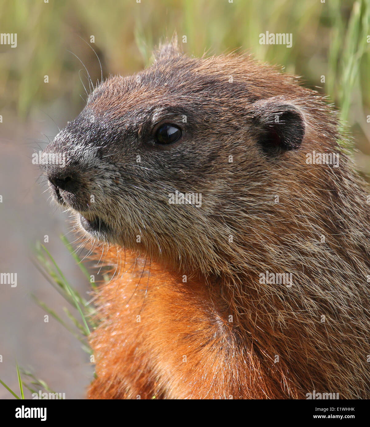 Woodchuck (Marmota monax), at Beauval in Saskatchewan - Stock Image