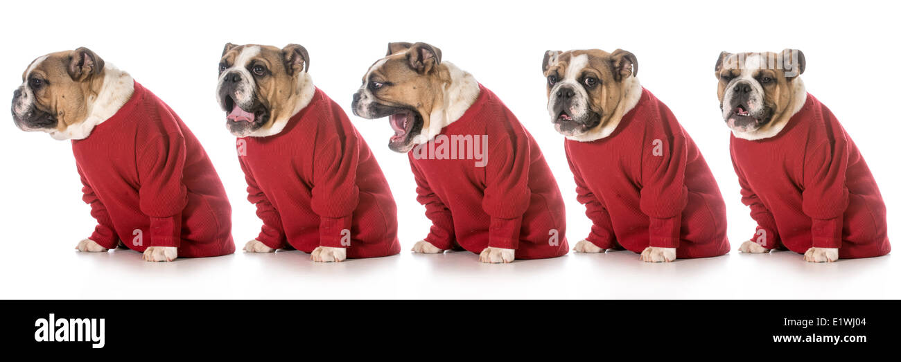english bulldog wearing red sweater yawning in sequence on white background - Stock Image