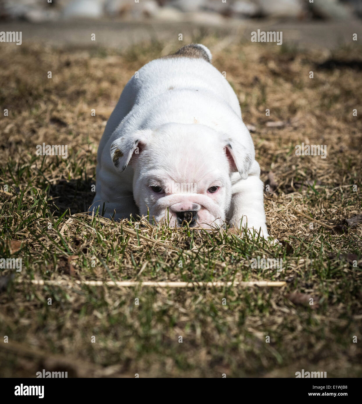 english bulldog puppy playing outside in the grass - Stock Image