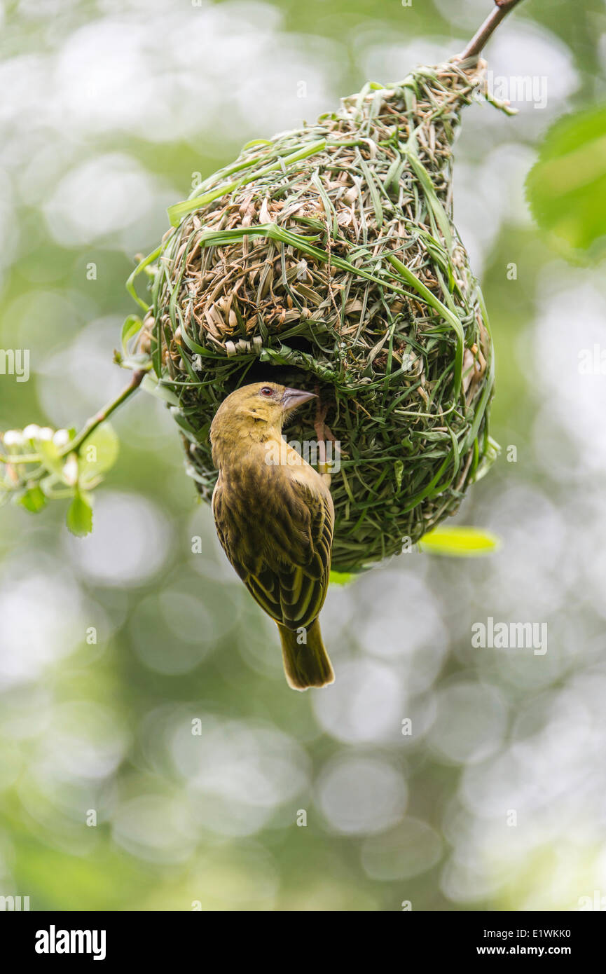 The Ploceidae, or weavers, are small passerine birds related to the finches. These are seed-eating birds with rounded - Stock Image