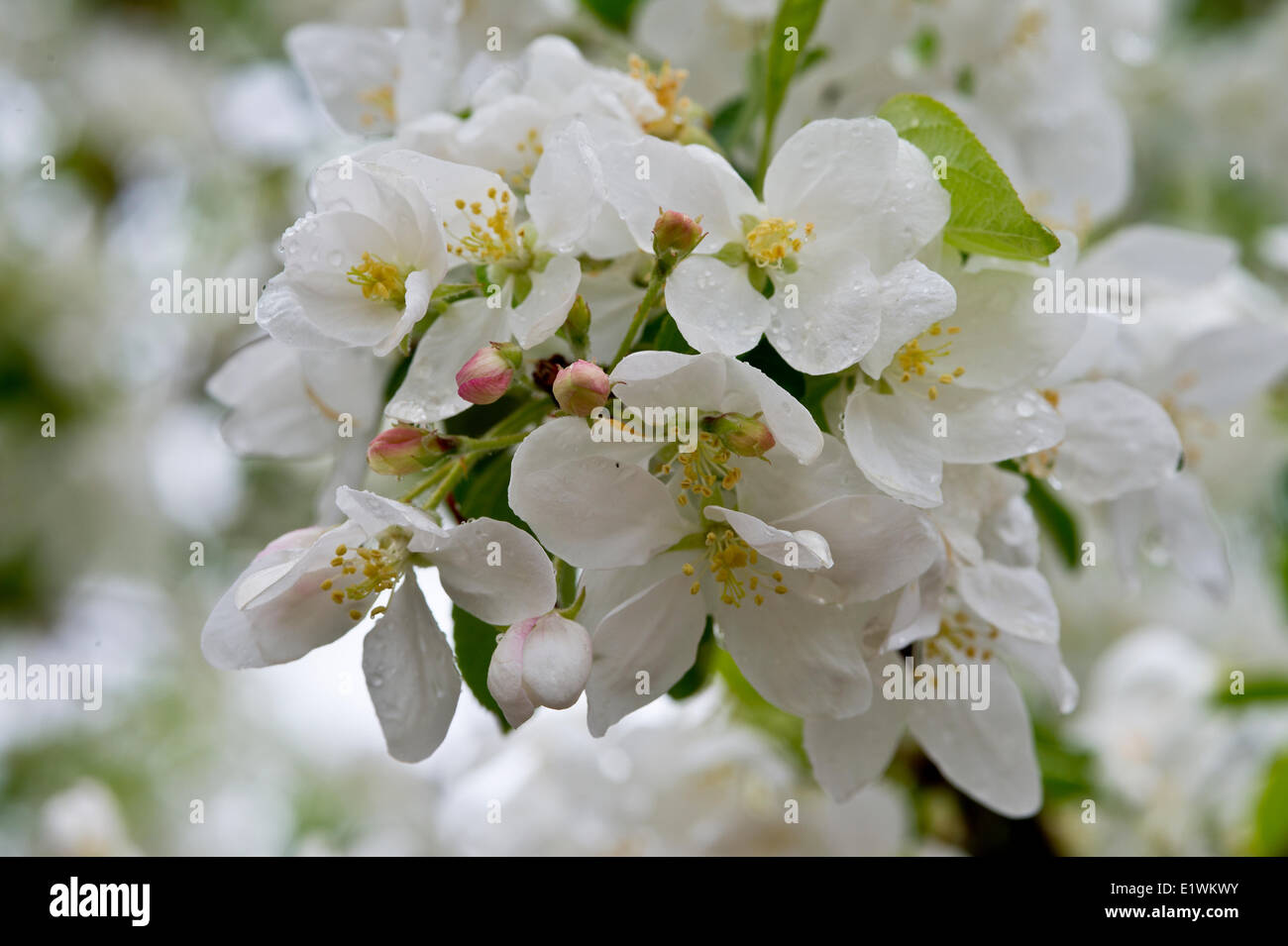 Pear Blossoms, pyrus rosaceae - Stock Image