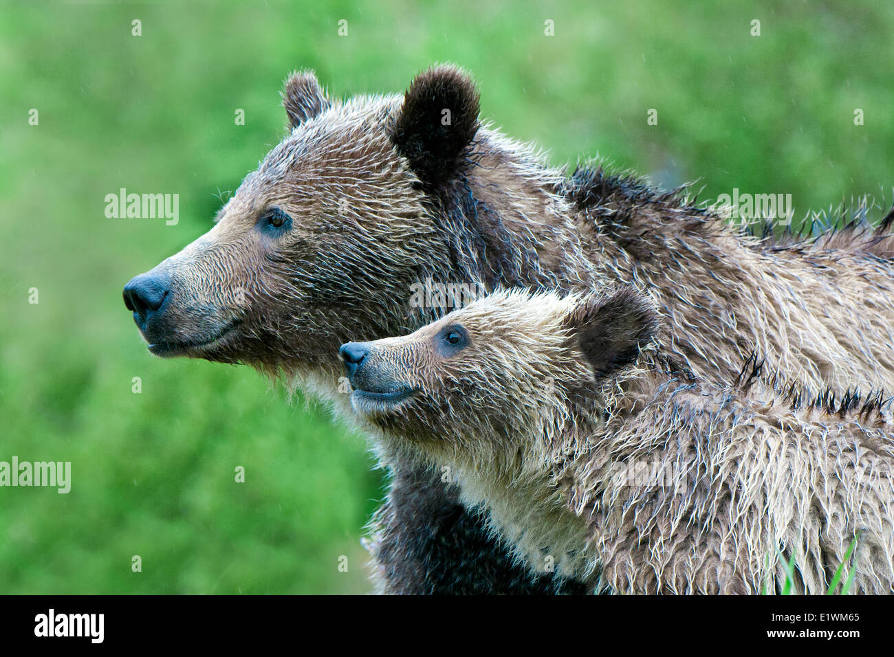 Mother grizzly bear (Ursus arctos) and yearling cub, Rocky Mountain foothills, western Alberta, Canada Stock Photo