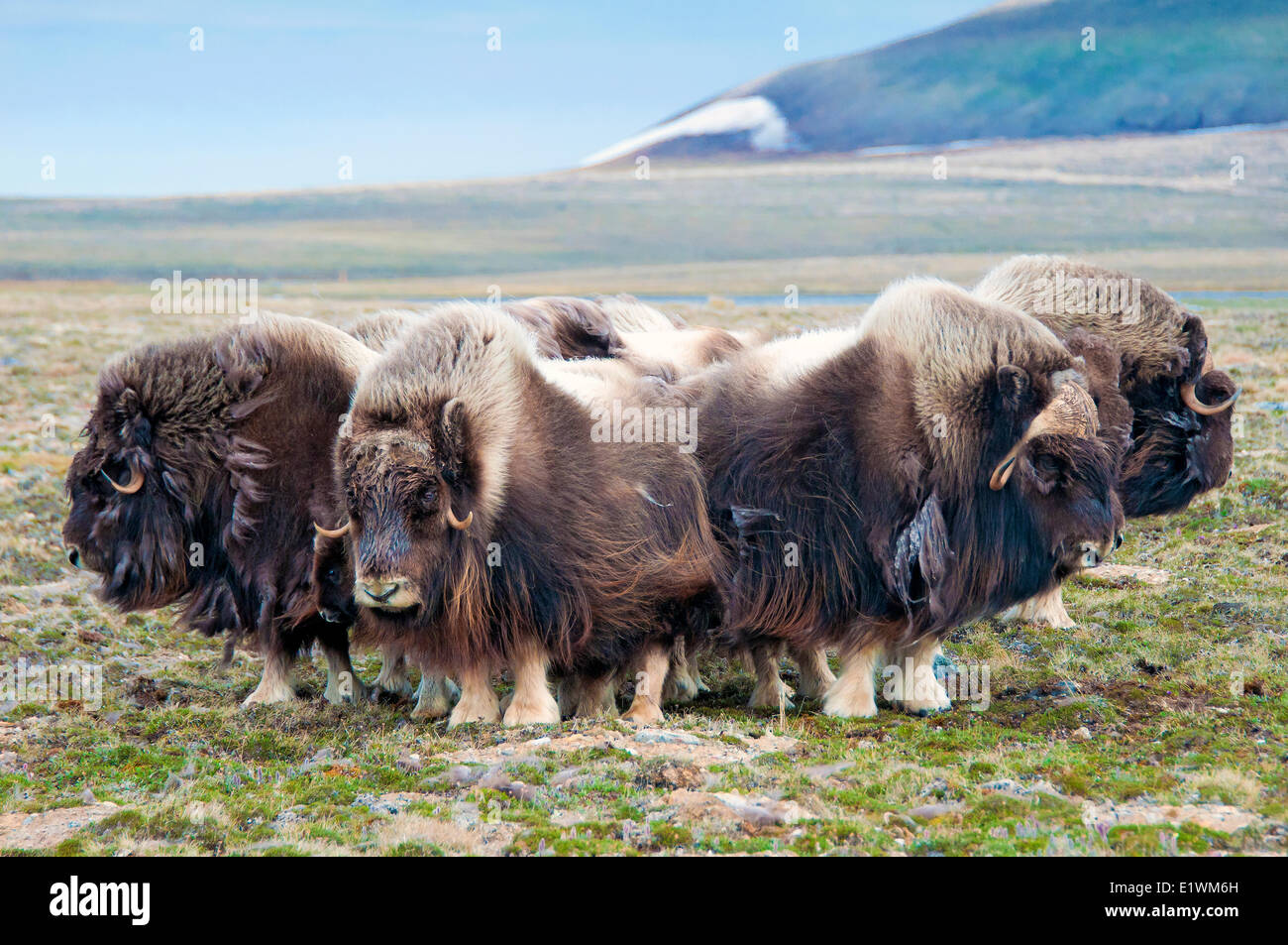Muskoxen (Ovibos moschatus) herd, Victoria Island, Nunavut, Arctic Canada - Stock Image