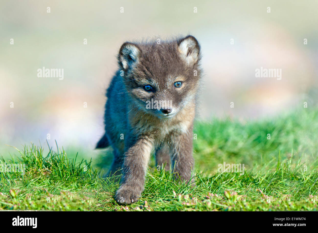Arctic fox pup (Alipex lagopus) at the mouth of its natal den, Victoria Island, Nunavut, Arctic Canada - Stock Image