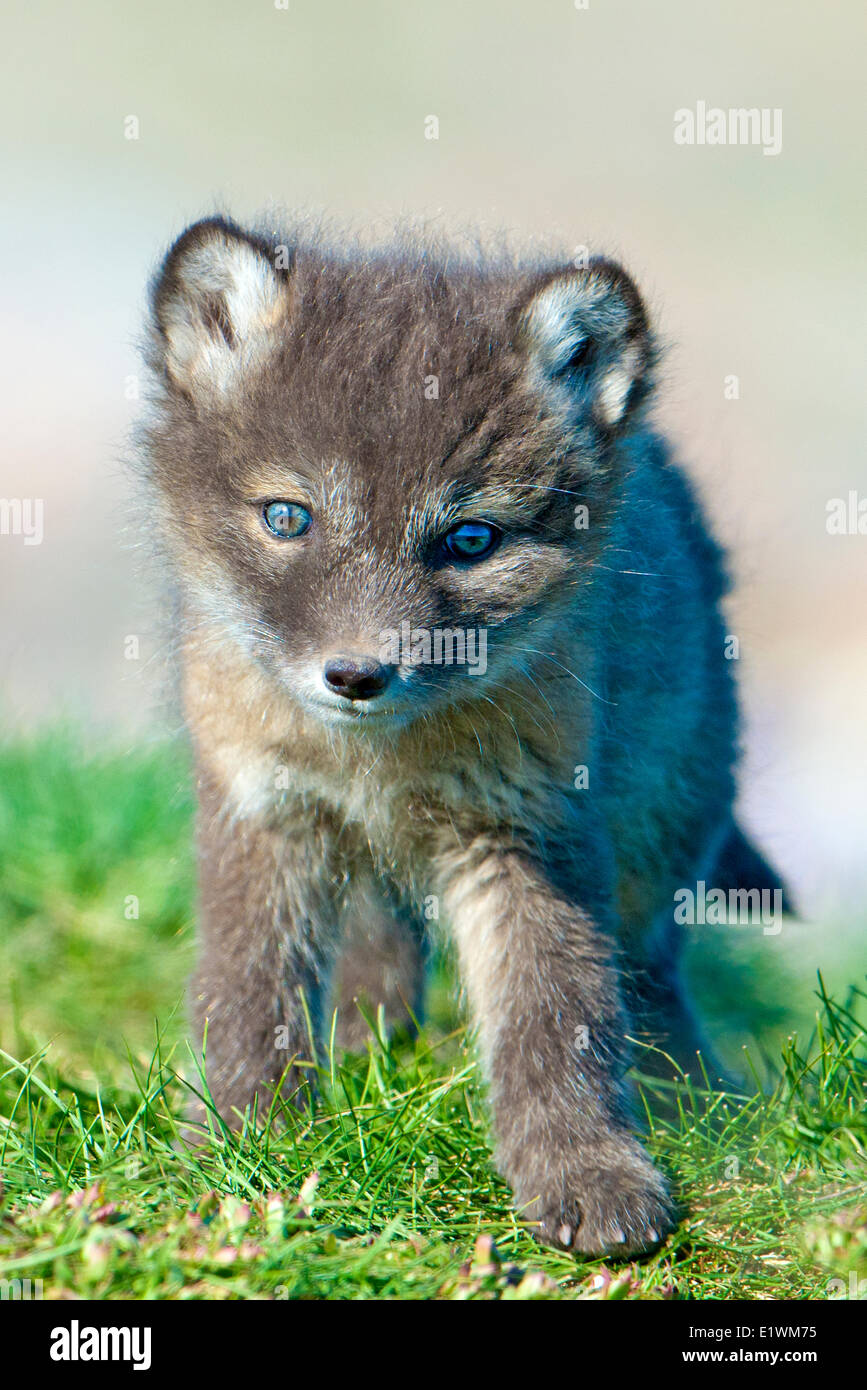 Arctic fox pup (Alipex lagopus) at the mouth of its natal den, Victoria Island, Nunavut, Arctic Canada Stock Photo