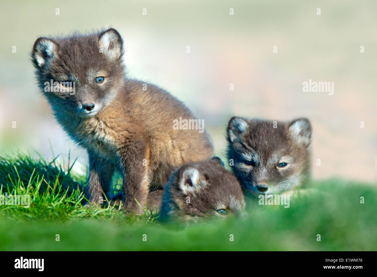 Arctic fox pups (Alipex lagopus) at the mouth of their natal den, Victoria Island, Nunavut, Arctic Canada - Stock Image