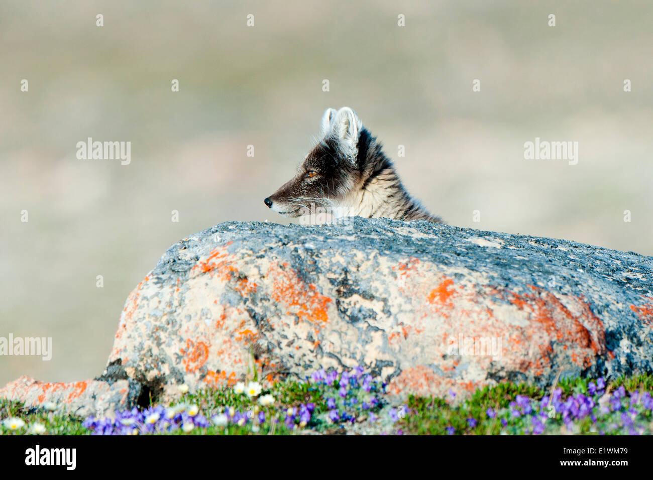 Arctic fox (Alipex lagopus) in transitional summer pelage, Victoria Island, Nunavut, Arctic Canada - Stock Image