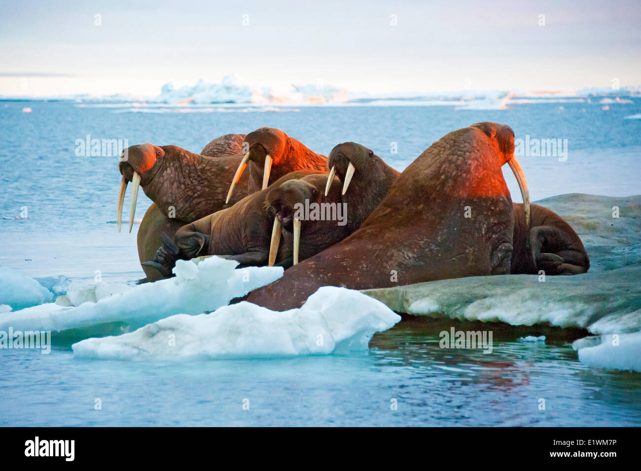 Pacific Walrus, Odobenus rosmarus, haul out on sea ice Canadian Arctic, - Stock Image