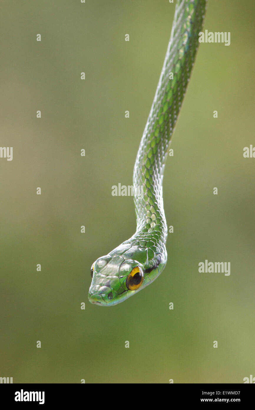 Snake perched on a branch in Costa Rica, Central America. - Stock Image