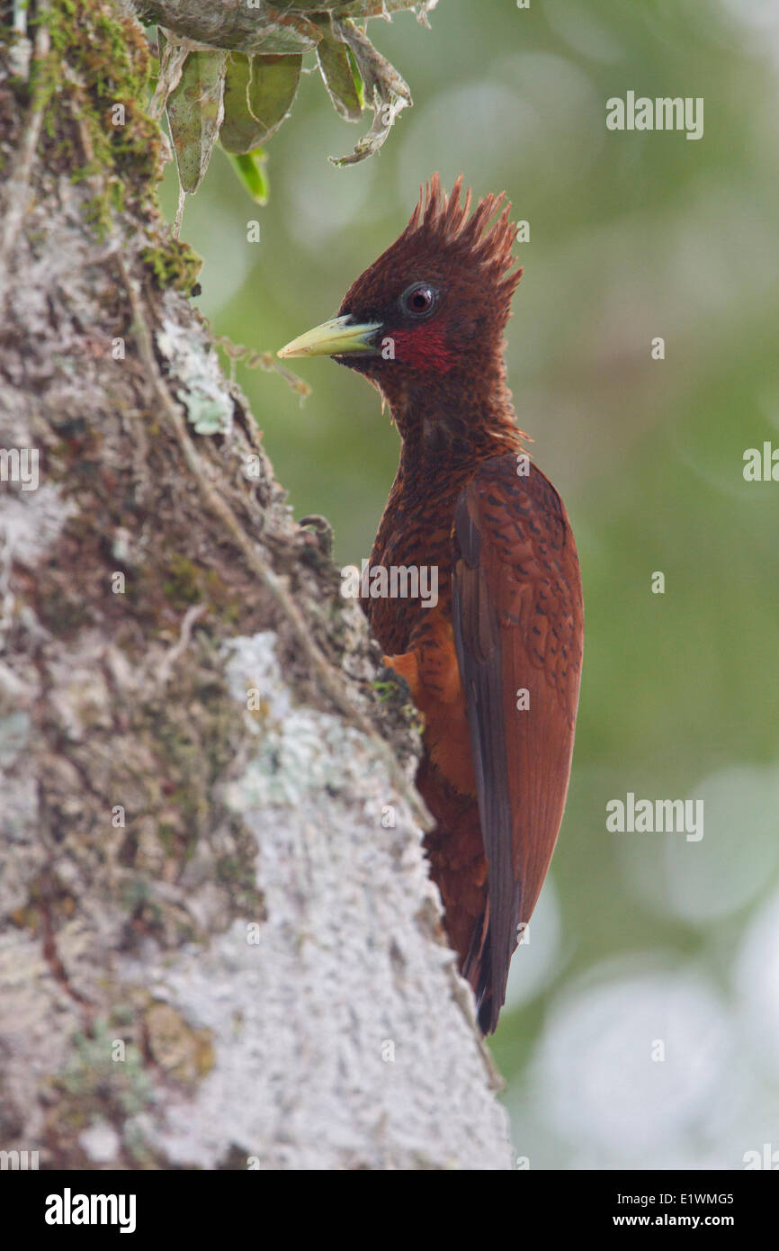 Scale-breasted Woodpecker (Celeus grammicus) perched on a branch in Ecuador, South America. - Stock Image