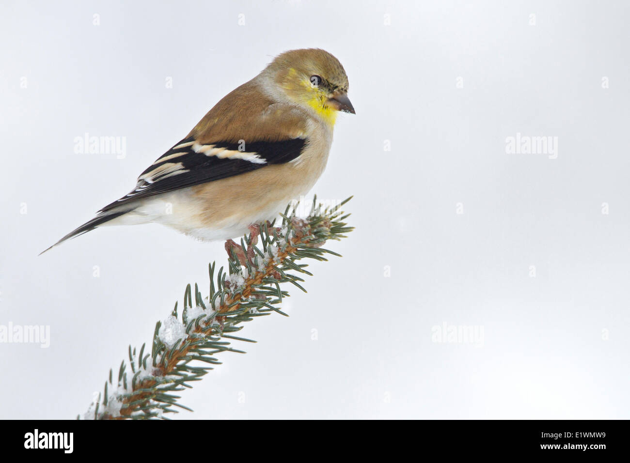 American Goldfinch (Carduelis tristis) perched on a branch in eastern Ontario, Canada. - Stock Image