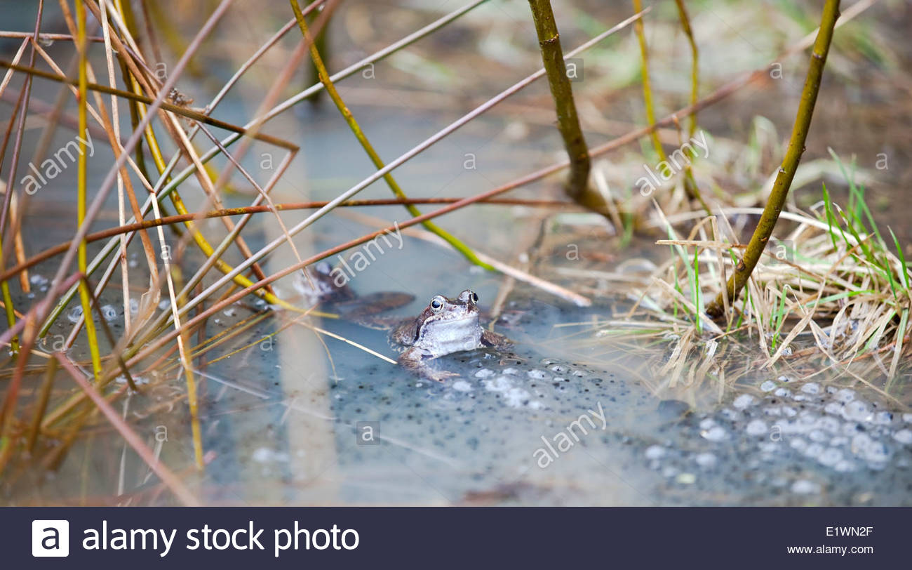 Frogs in spring - Stock Image