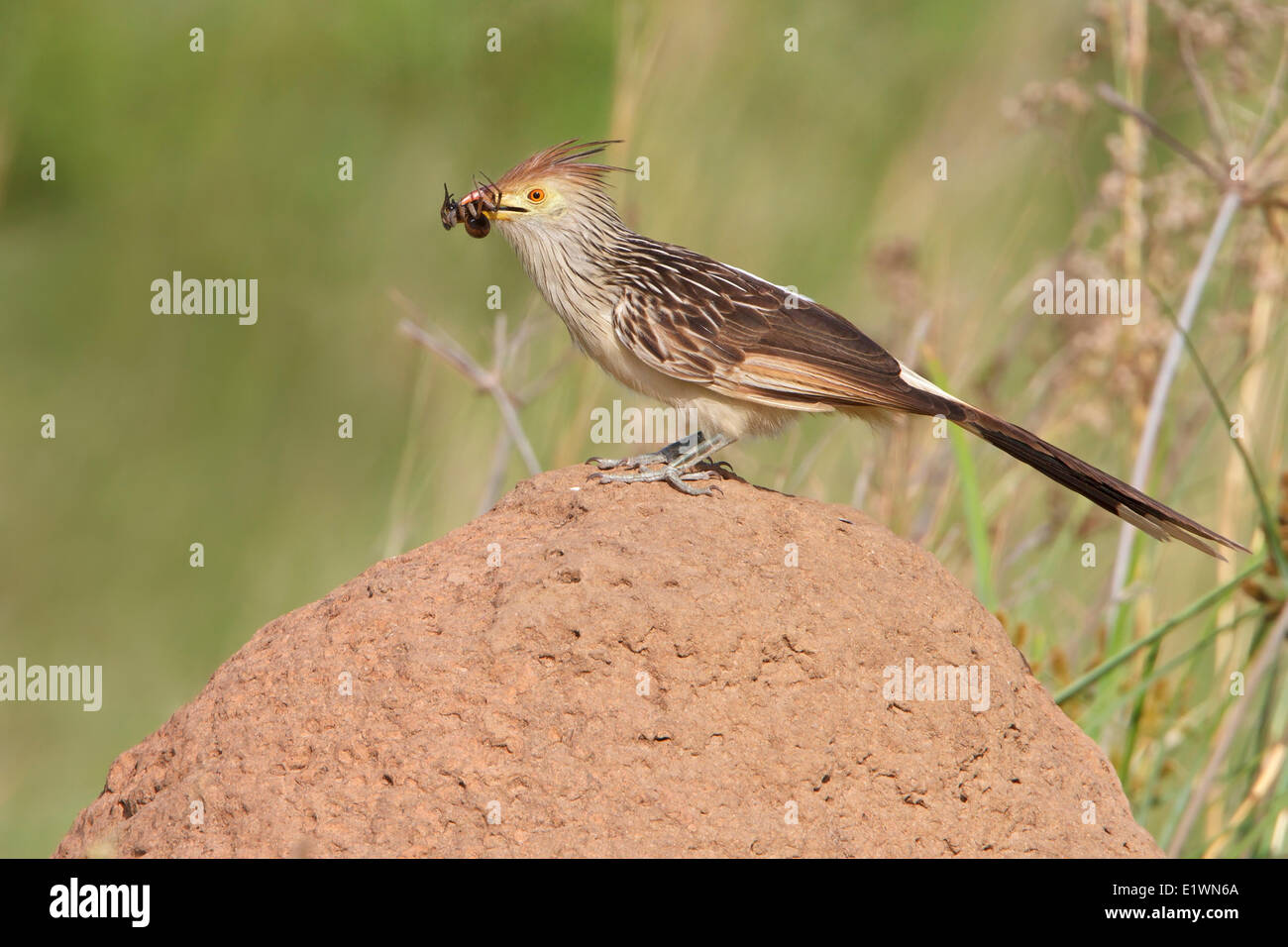 Guira Cuckoo (Guira guira) perched on the ground in Bolivia, South America. - Stock Image