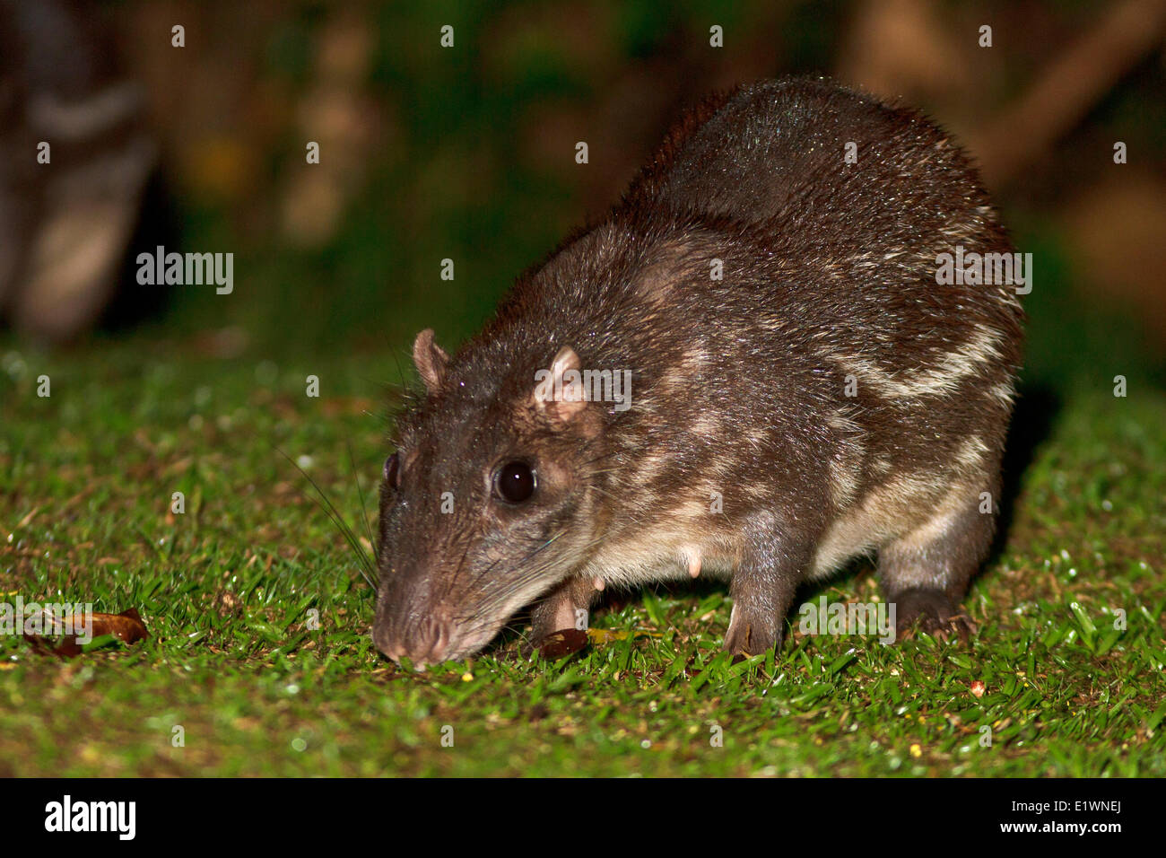 A Paca feeding in the forest at night in Costa Rica. - Stock Image
