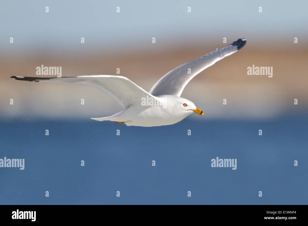 Herring Gull (Larus argentatus) flying in Churchill, Manitoba, Canada. Stock Photo