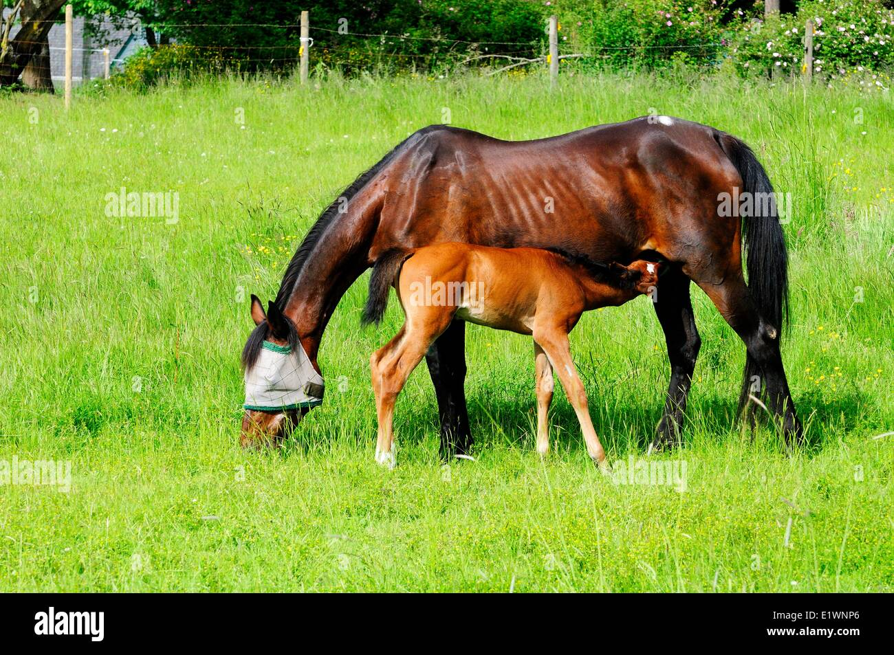 A two week old foal nurses her mother  The foal is 1/2