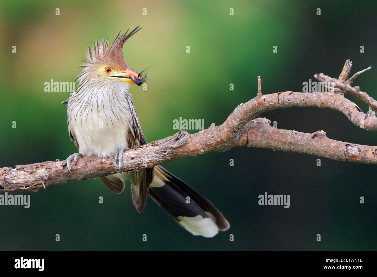 Guira Cuckoo (Guira guira) perched on a branch in Bolivia, South America. - Stock Image