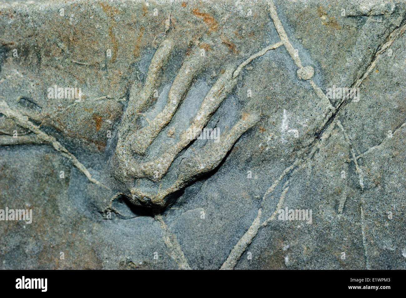 Fossil tetrapod footprint/trackway frog ancestor dating 300 million years back to the Coal Age's carboniferous - Stock Image