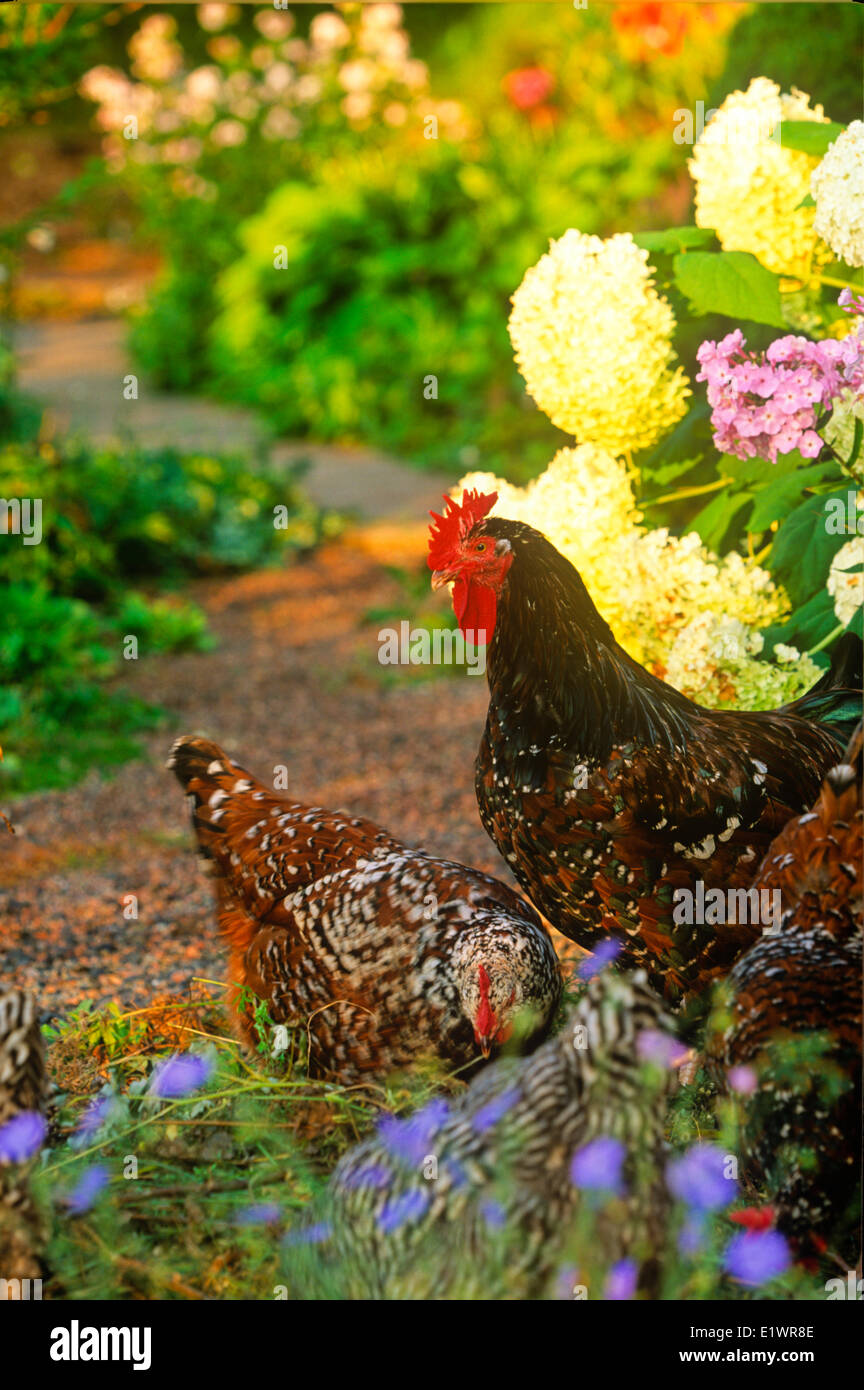 Chicken, Plymouth Barred-Rock, in garden, St. Catherines, Prince ...