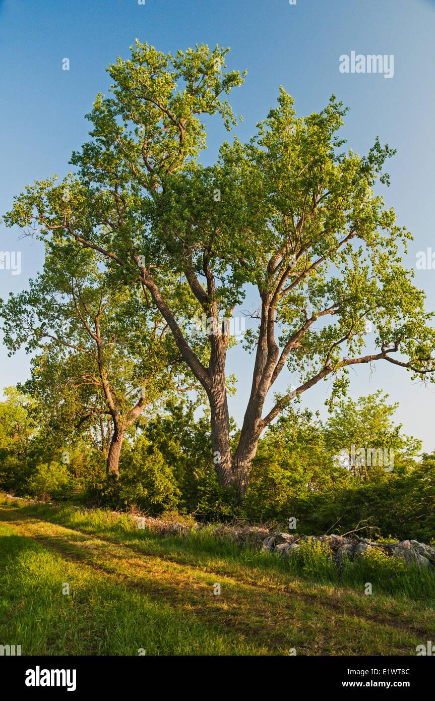 Eastern Cottonwood (Populus deltoides). Carolinian forest on Lake ...
