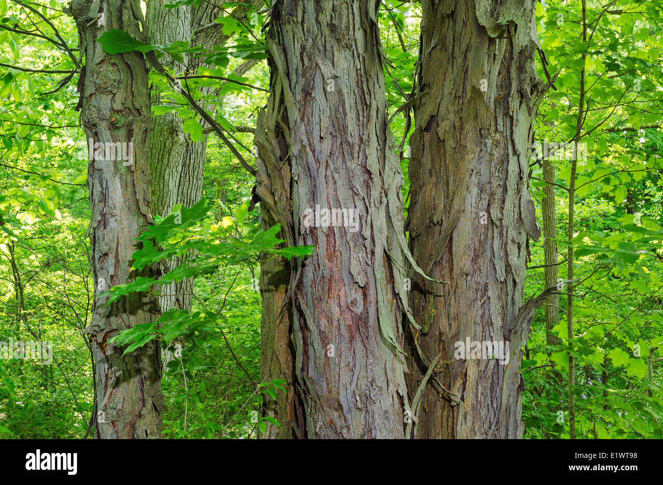 Shagbark Hickory (Carya ovata) in Carolinian Forest. Ruthven Park National Historic Site, Ontario. Canada. - Stock Image