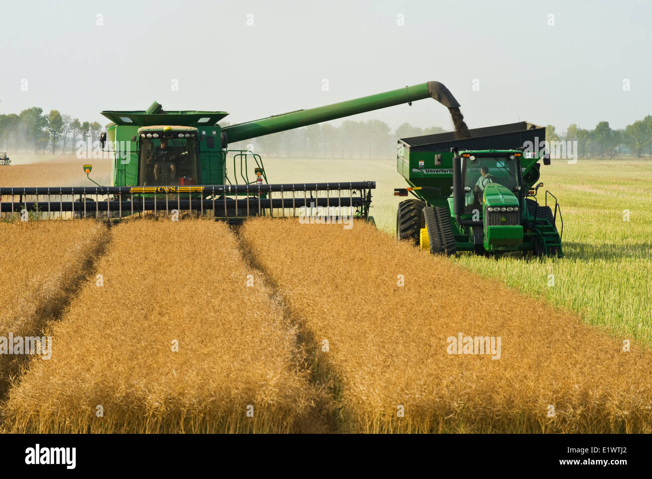 a combine harvester equipped with an air reel on the header, straight cuts standing canola while augering the crop - Stock Image
