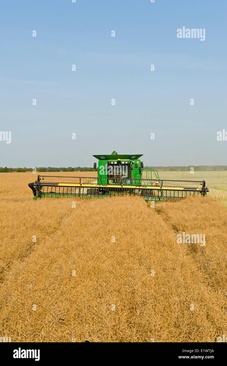 a combine harvester straight cuts a standing canola field during the harvest, near Niverville, Manitoba, Canada - Stock Image