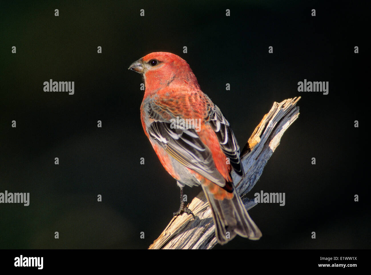 Pine Grosbeak (Pinicola enucleator) Adult Male forages in trees bushes mainly eating seeds buds berries insects. Stock Photo