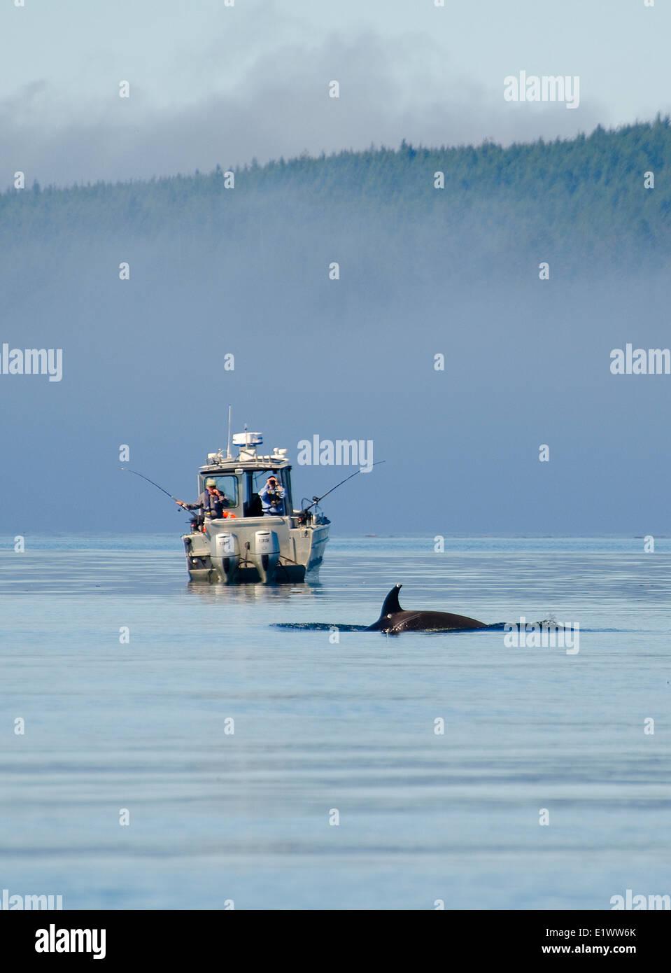 Orca sighting, Johnstone Strait, Vancouver Island, British Columbia, Canada. - Stock Image