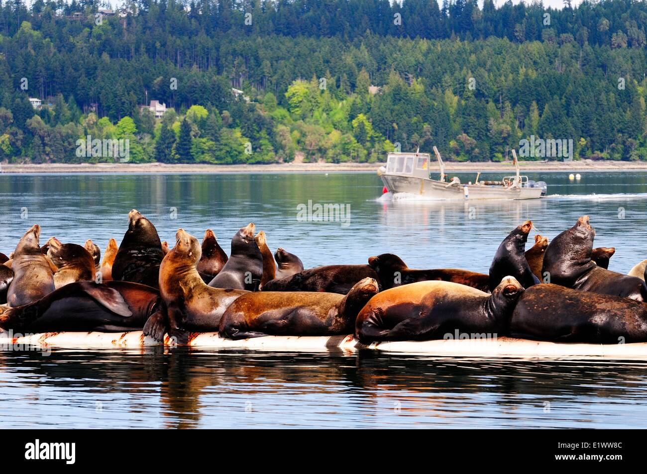 Steller sea lions basking in the sun on a wharf near Fanny Bay, BC, Canada - Stock Image