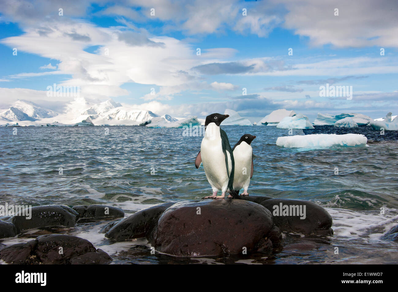 Adelie penguin(s) (Pygoscelis adeliae), Orne Islands, Antarctic Peninsula - Stock Image