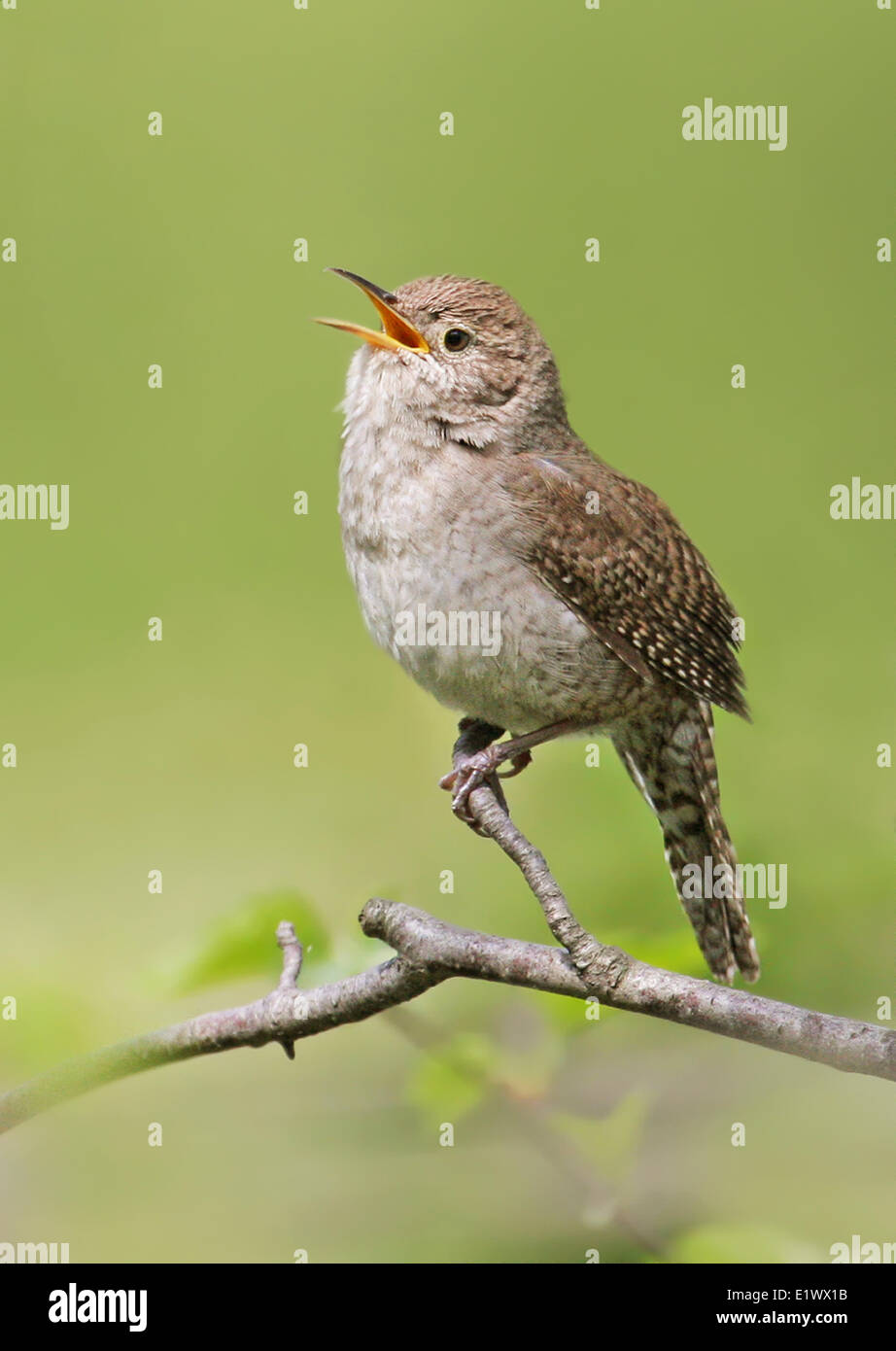 House Wren, Troglodytes aedon,  sings from a perch in Saskatoon, Saskatchewan, Canada - Stock Image
