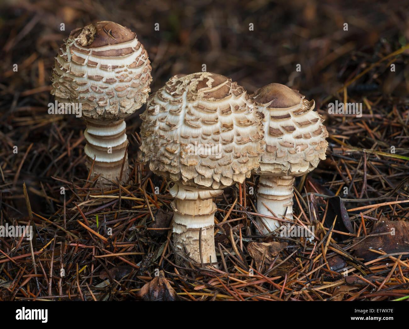 Shaggy parasol, Lepiota rhacodes growing on the forest floor amongst pine needles, East Sooke Park, Sooke BC - Stock Image