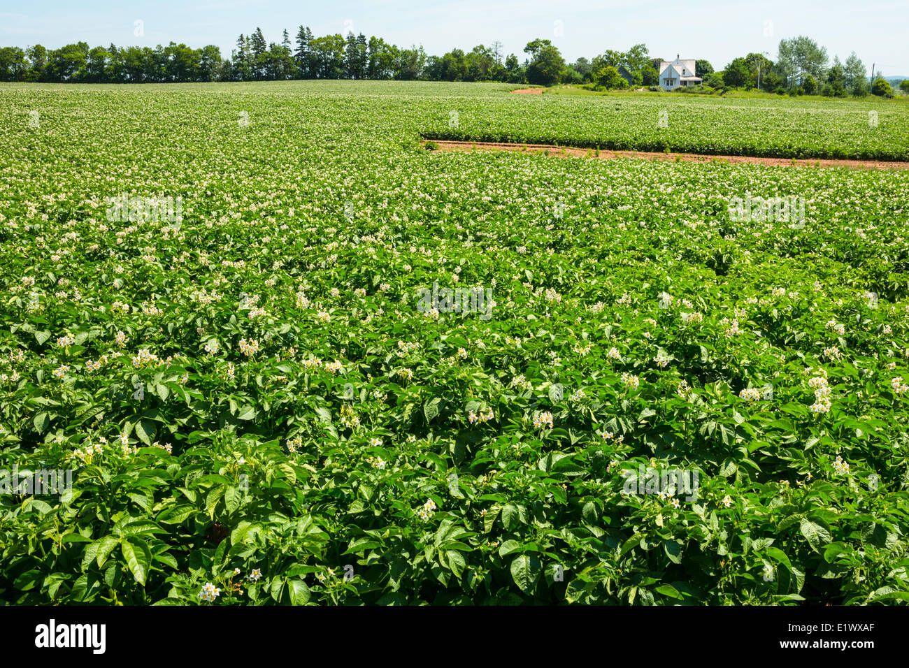Potato field, Point Prim,  Prince Edward Island, Canada - Stock Image