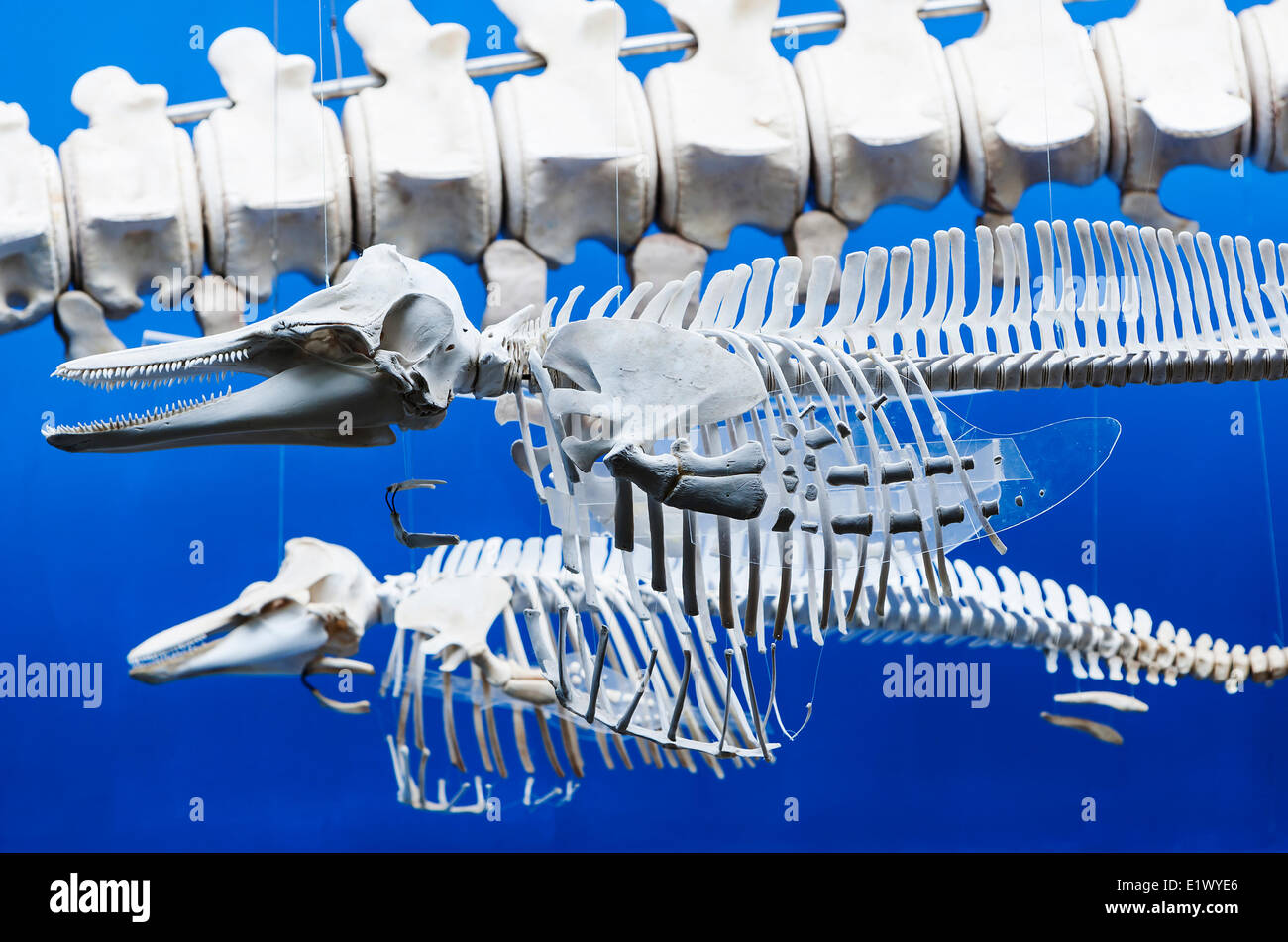 Skeletons various marine mammal species hang in the Bamfield Marine Sciences Centre building in Bamfield.  Broken - Stock Image