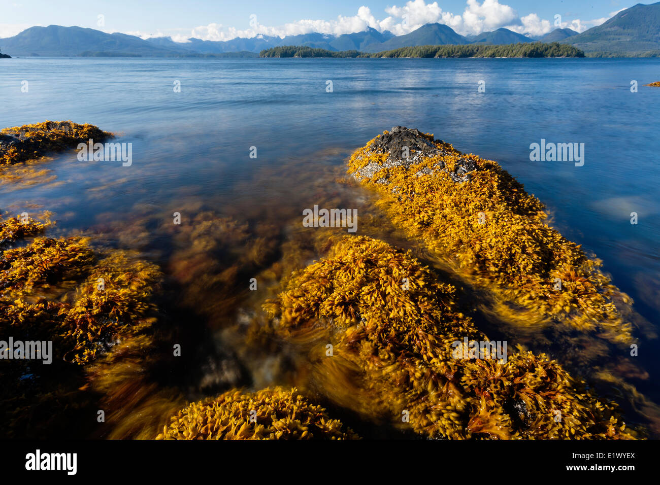 Kelp sways in the tidal current around Dodd Island in the Broken Island Group Barkley Sound Vancouver Island British - Stock Image