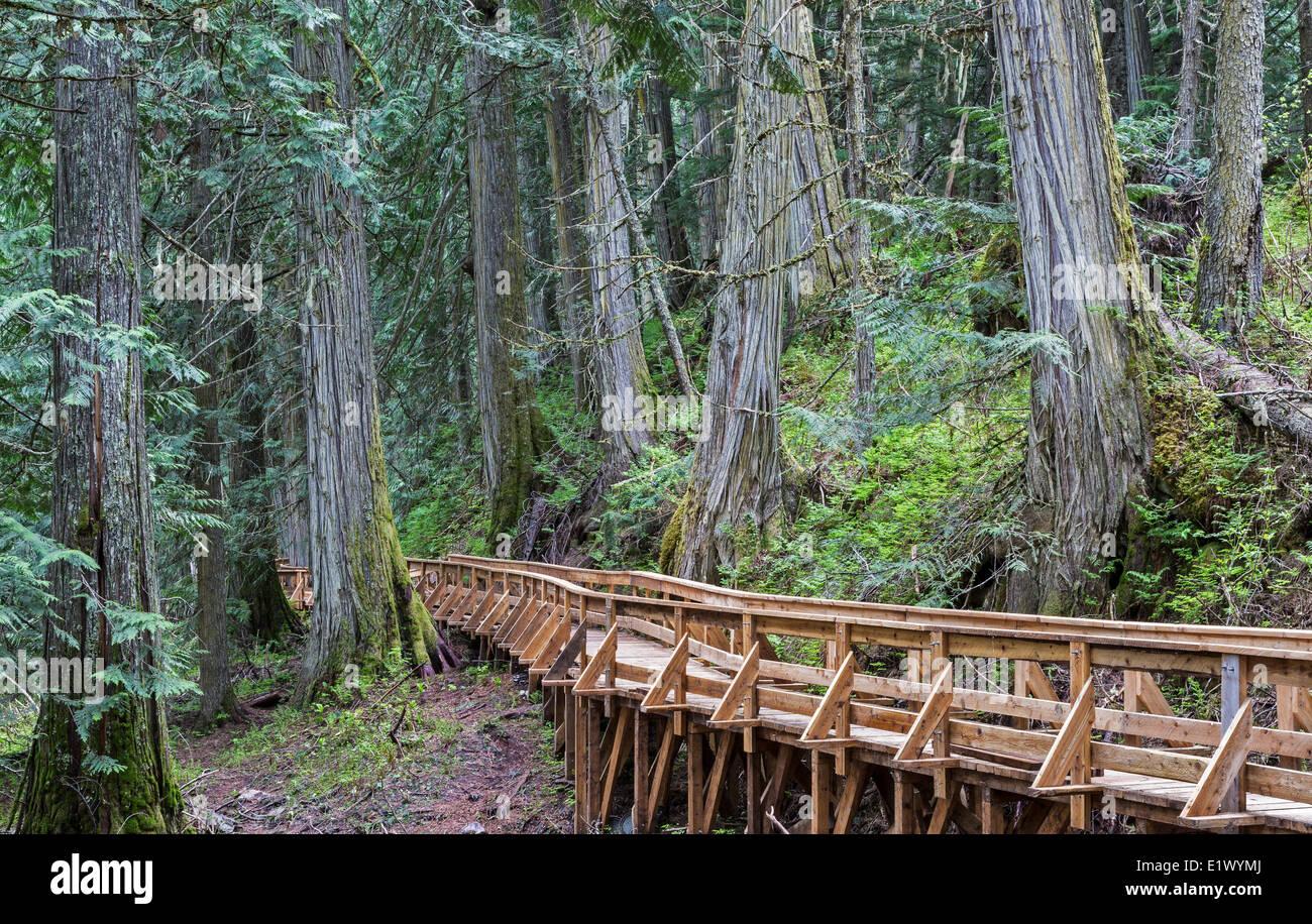 British Columbia, Canada, Ancient Forest, Inland Rainforest, Robson Valley, boardwalk, - Stock Image