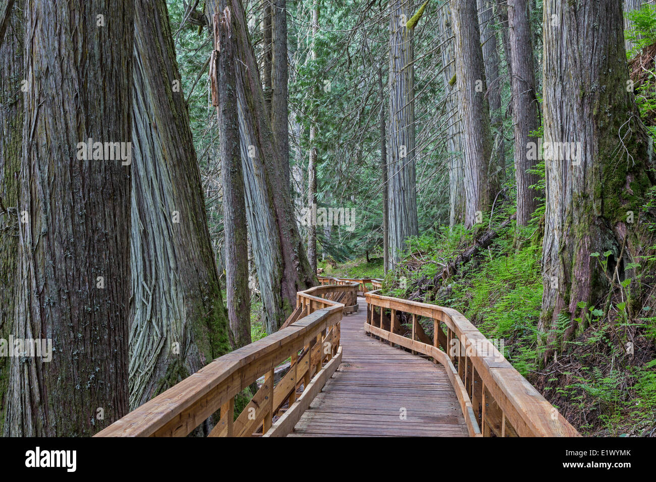 British Columbia, Canada, Ancient Forest, Inland Rainforest, Robson Valley, boardwalk, - Stock Image