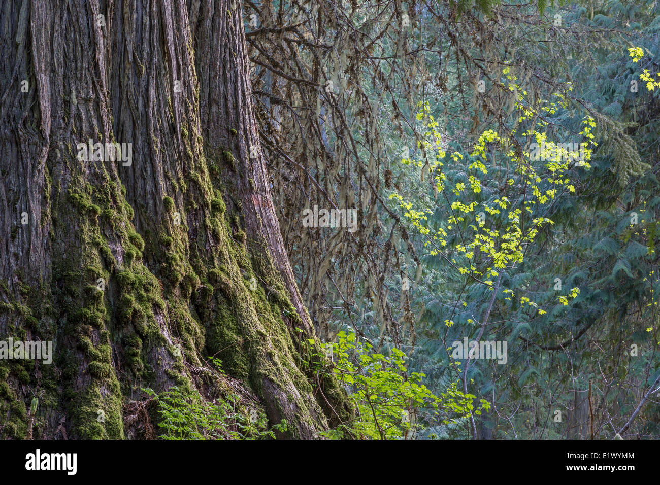 British Columbia, Canada, Ancient Forest, Inland Rainforest, Robson Valley, Western redcedar, thuja plicate, - Stock Image
