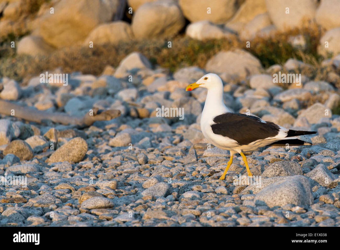 Yellow-footed gull (Larus livens) on the beach, Isla San Francisco, Baja, Mexico Stock Photo