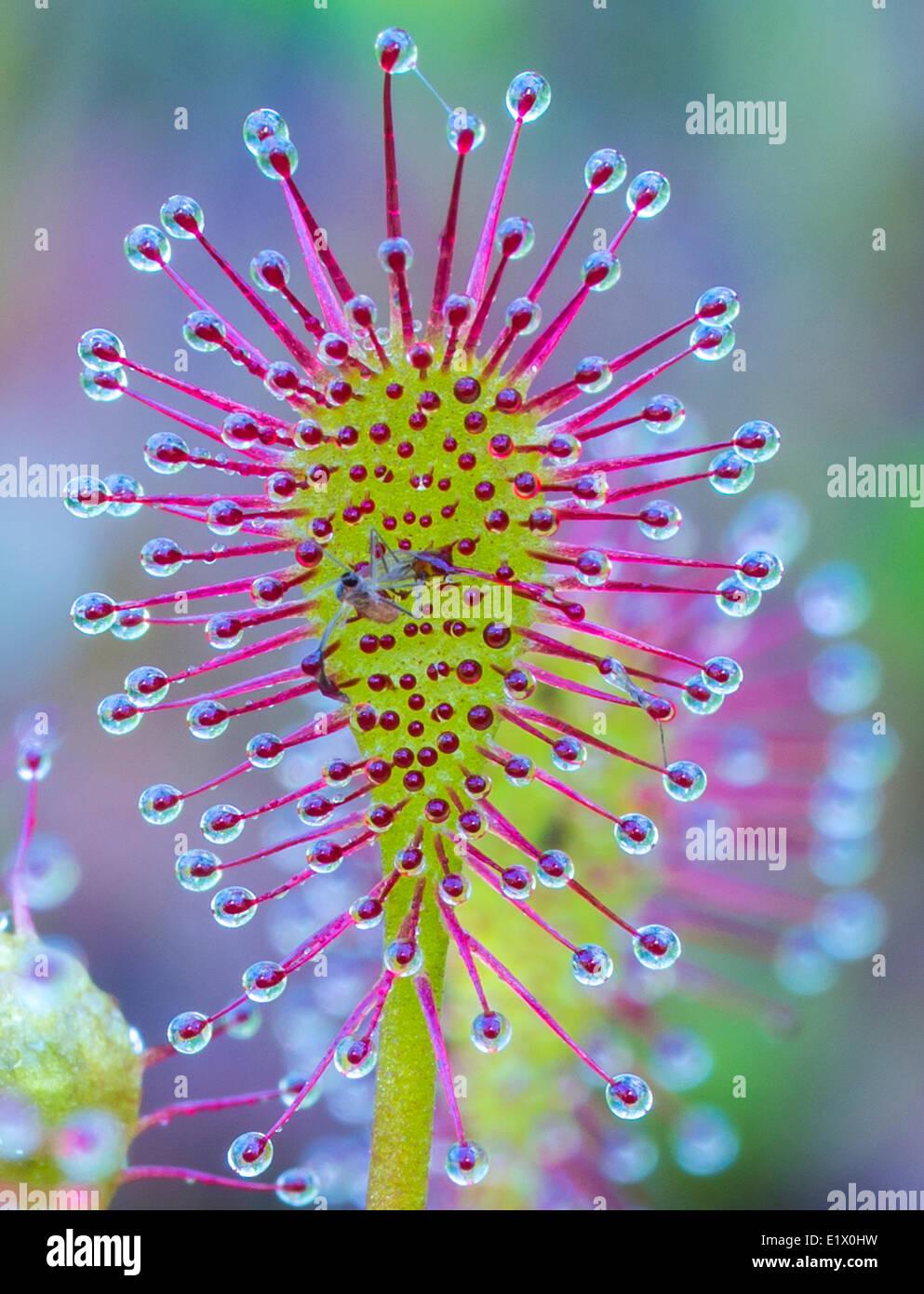 Sundew & Mosquito Stock Photo