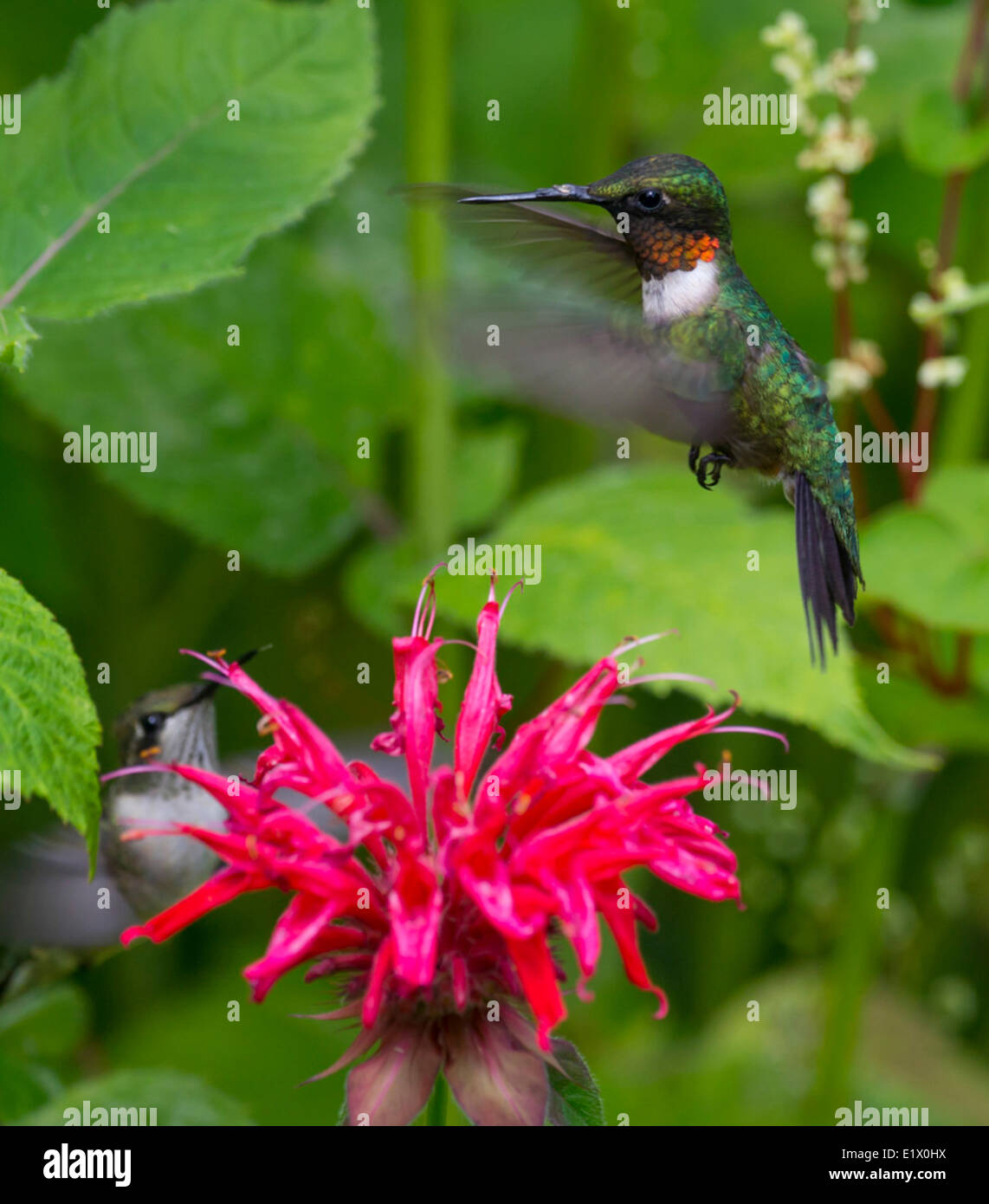 The Ruby-throated Hummingbird (Archilochus colubris) Stock Photo