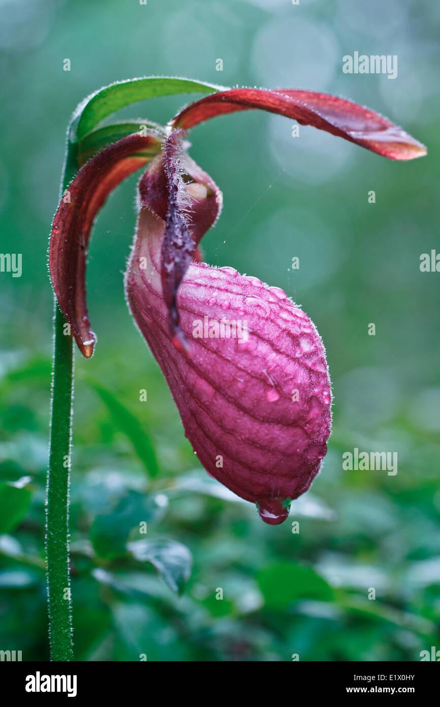 Pink Lady's Slipper, Cypripedium acaule Stock Photo