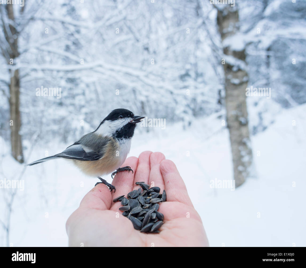 Black-capped Chickadee (Poecile atricapillus) is a small, nonmigratory, North American songbird, Hand Feeding Stock Photo