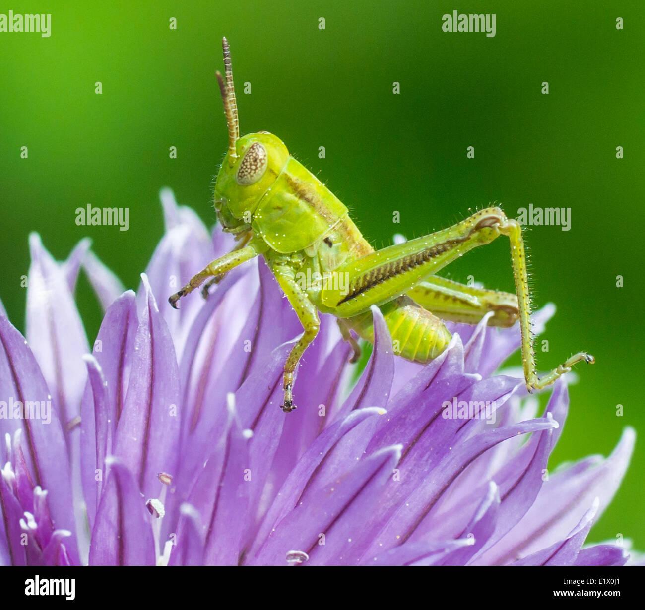 Grasshopper on Chive Blossom Stock Photo