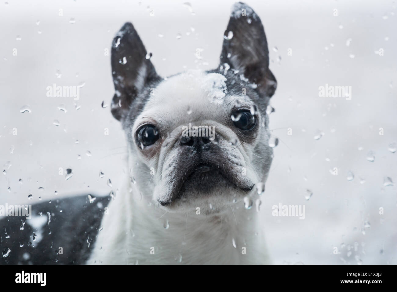 Boston Terrier Outside Looking In Stock Photo
